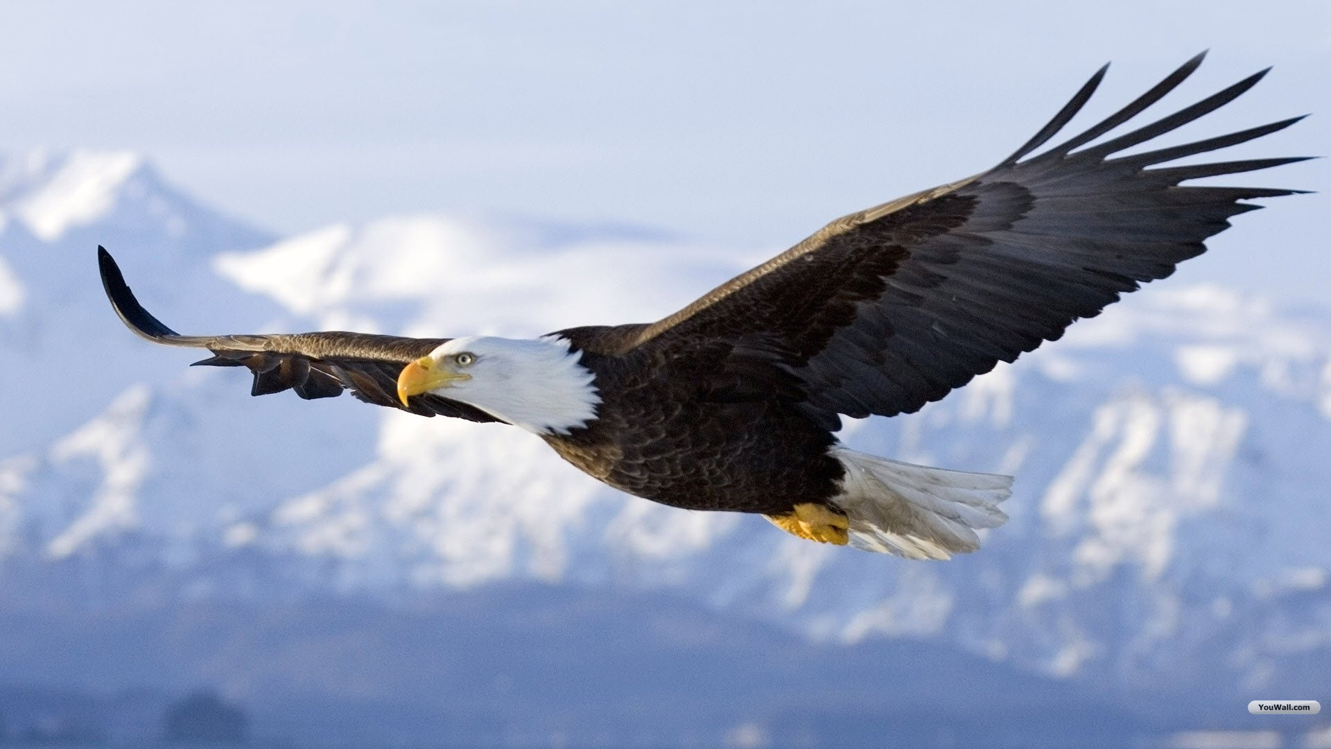 Youwall Flying Eagle Wallpaper 1920x1080PX ~ Eagles Wallpaper #99186