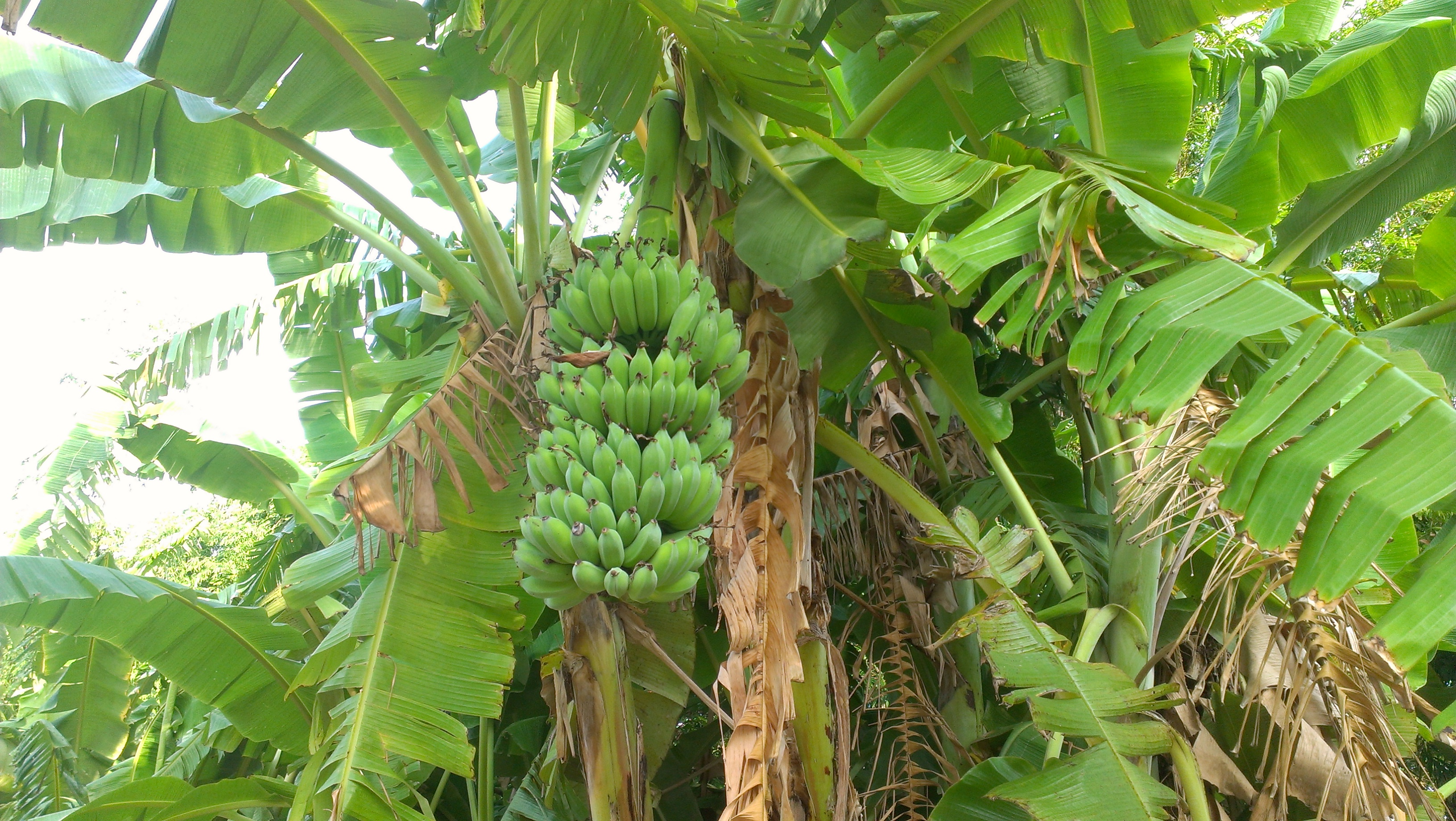 Morphology of the banana plant