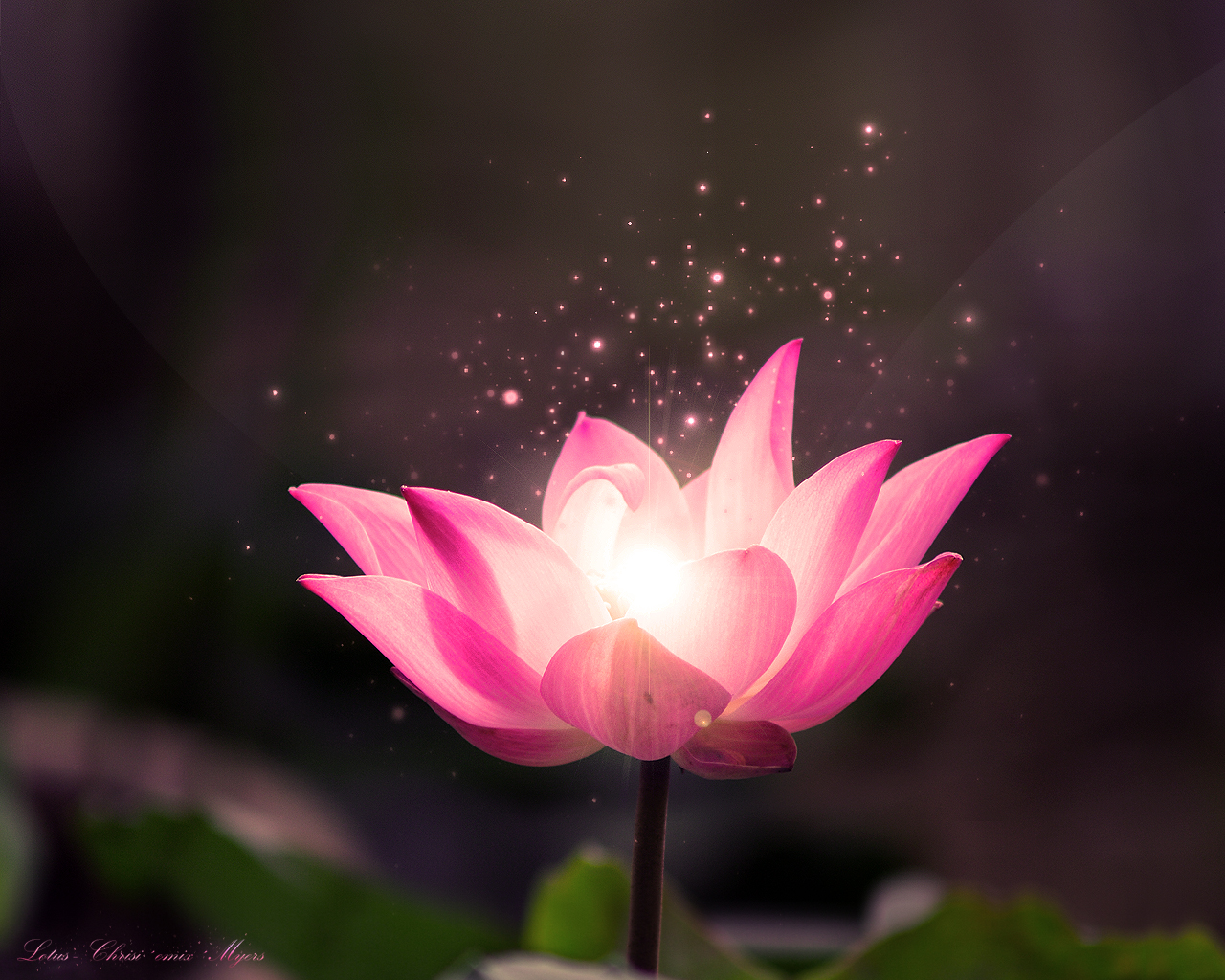 Image gallery for : lotus flower wallpaper