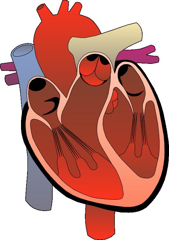 animated human heart clipart rh worldartsme com human heart clipart black and white human heart clipart no background
