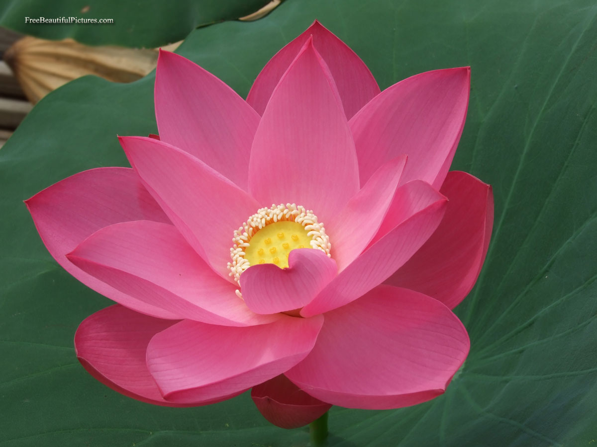 Lotus Flowers Photos - HD Wallpapers and Pictures