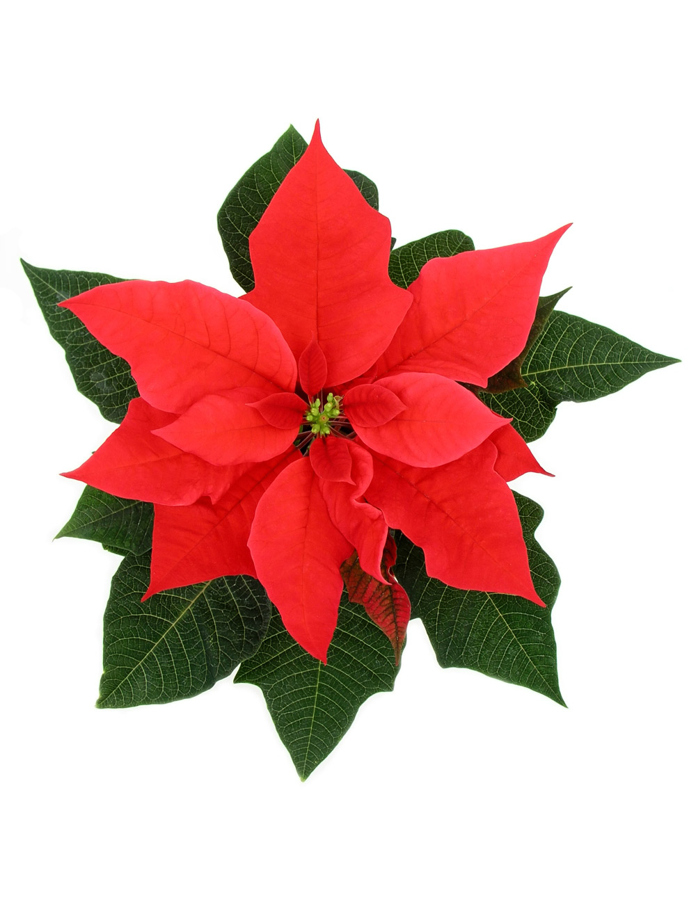 Poinsettia Flower Pictures - Cliparts.co
