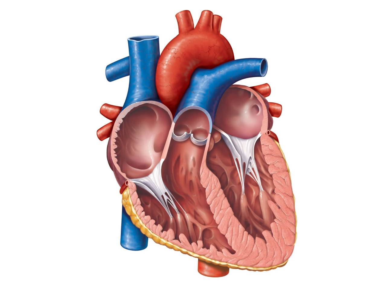 heart diagram unlabeled cliparts co