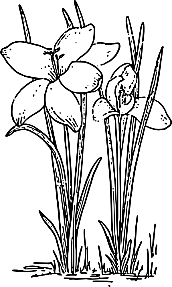 Daffodil Outline Cliparts Co