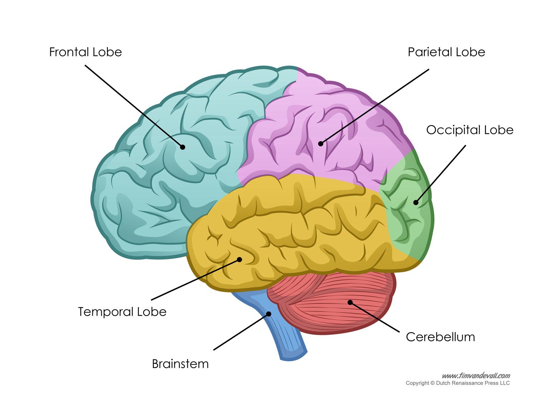 Human brain diagram for kids