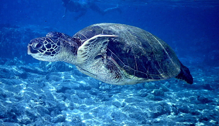 Green Sea Turtle | Smithsonian Ocean Portal