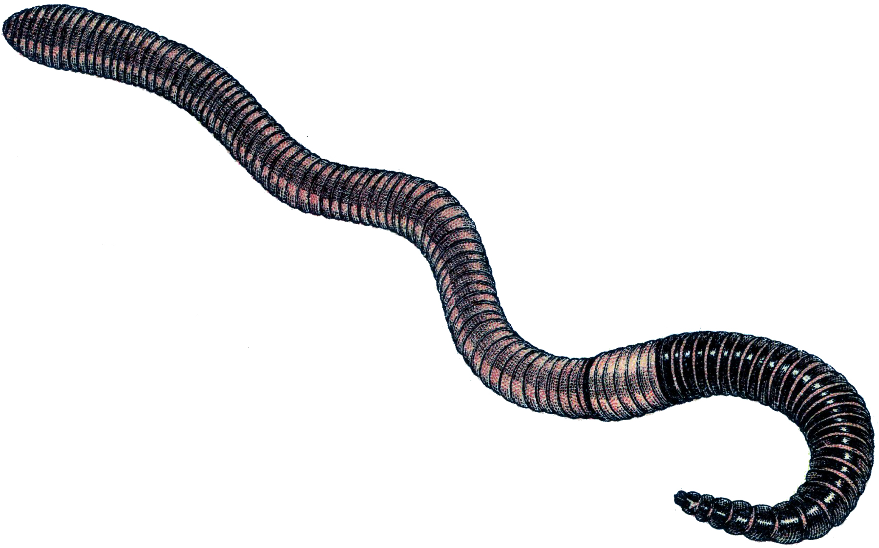 clipart earthworm - photo #4