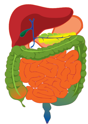 Digestive System Clip Art - Cliparts.co