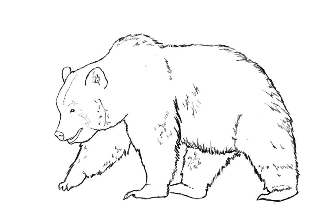 Bear Pencil Sketch Drawing Drawing A Bear Standing Grizzly
