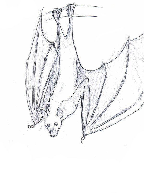Drawings of fruit bats for How to draw a small bat