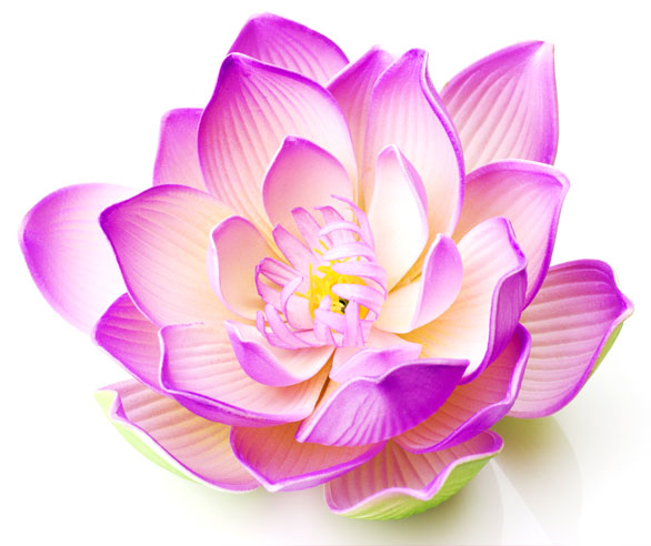 Lotus Flower Types | Types of Lotus Flower | White, Blue, Pink ...