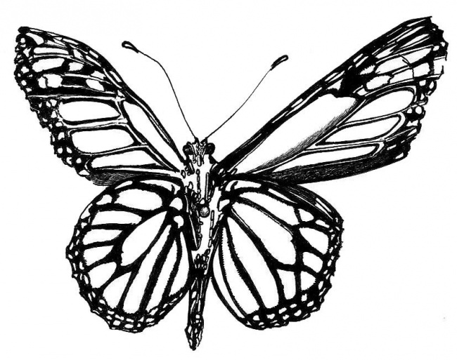 monarch butterfly sketch images