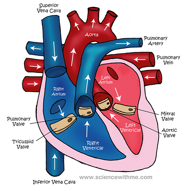 Simple Heart Diagram For Kids Images & Pictures - Becuo ...