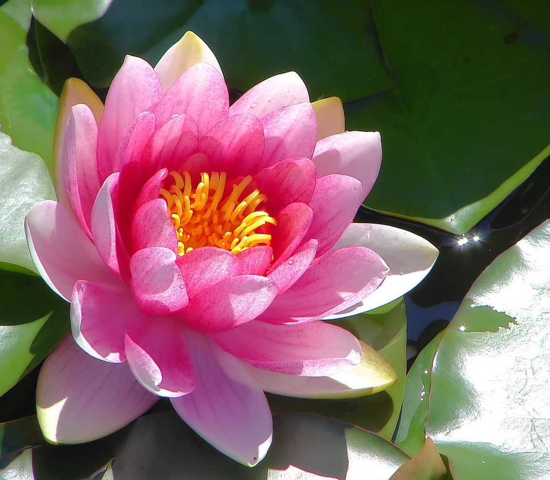 Water lily or lotus - Flowers Photo (22283533) - Fanpop