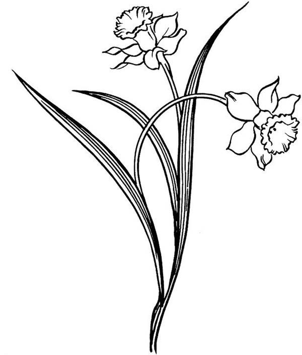 Line Drawing Daffodil : Daffodil outline cliparts