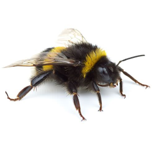 Eliminating Bumble Bees Infestations In Marietta, Atlanta ...