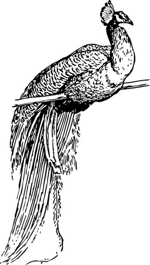 Peacock Outline Clip Art | vector birds