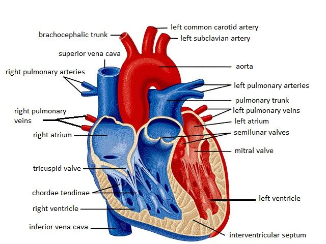 Unlabelled Diagram Of The Heart - Cliparts.co