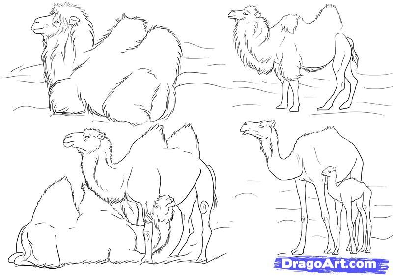 Поэтапный рисунок верблюда