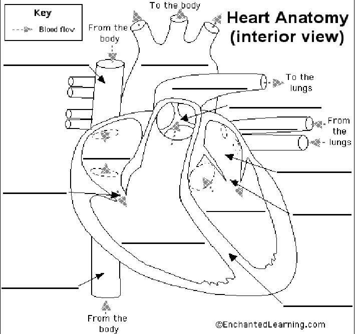 unlabeled heart diagram