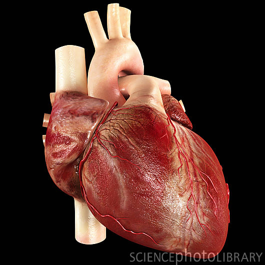 Real human heart images - photo#12
