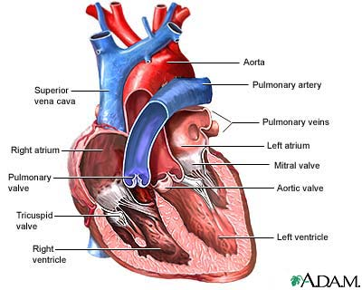 heart diagram unlabeled cliparts  : heart diagrams - findchart.co