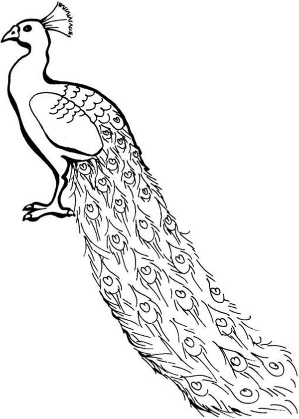 Cartoon Peacock Clipartsco