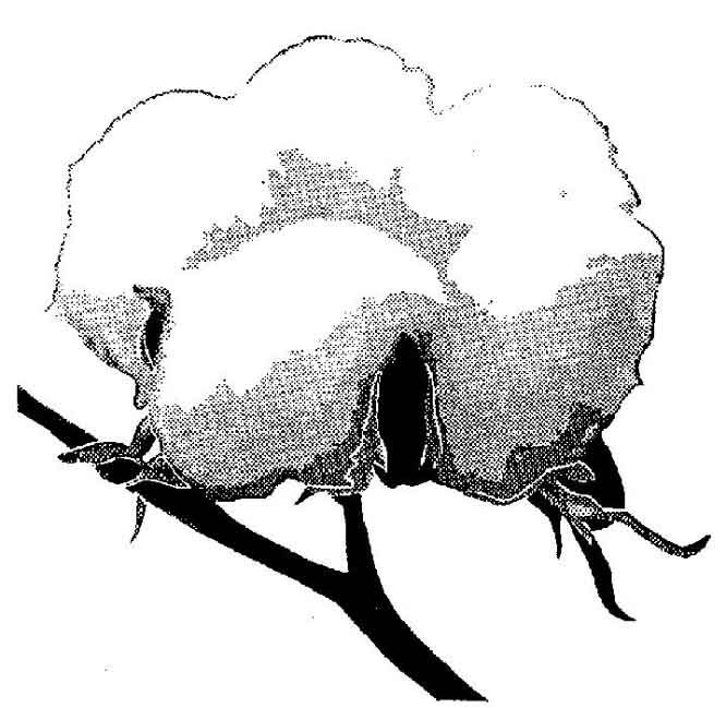 Cotton Plant Drawing Cliparts Co Cotton Coloring Sheet