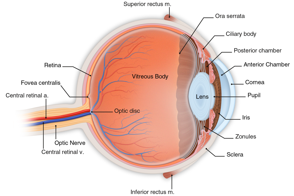 eye diagram - cliparts.co
