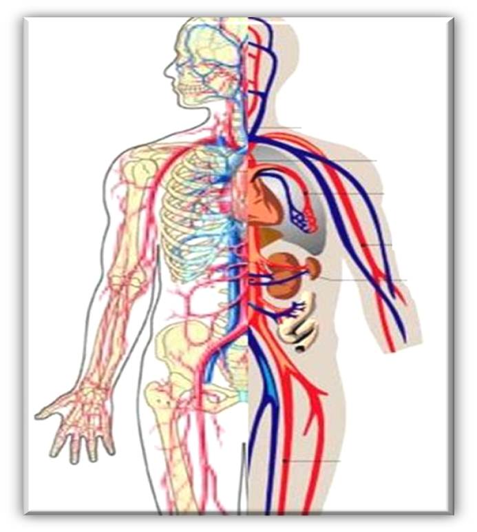 circulatory system no labels - photo #23