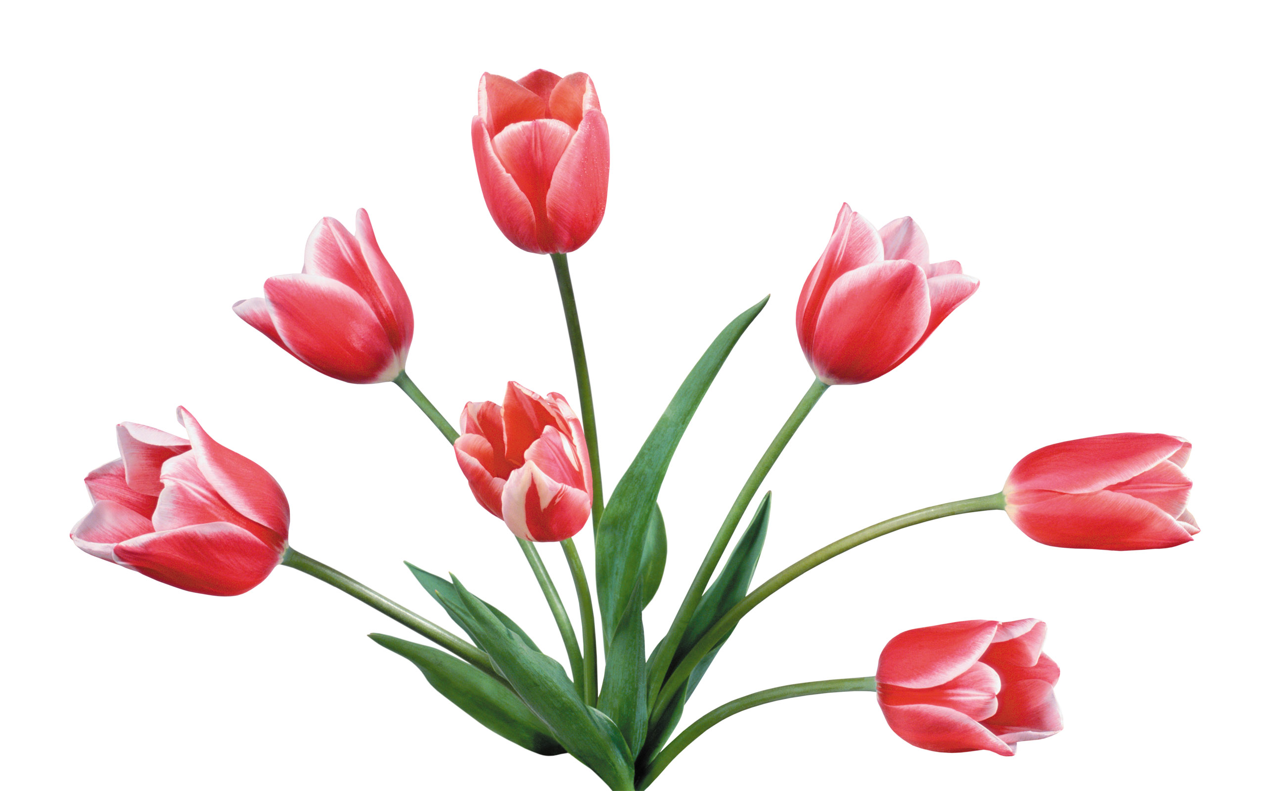 Pink Tulip Pictures Cliparts Co