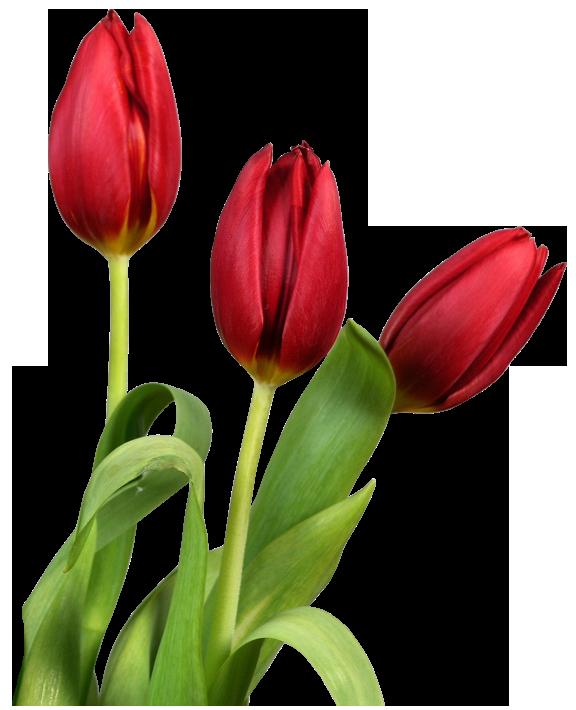 free clipart tulip flower - photo #37