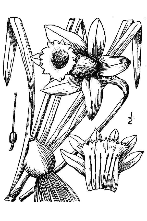 Line Drawing Daffodil : Daffodil drawing cliparts