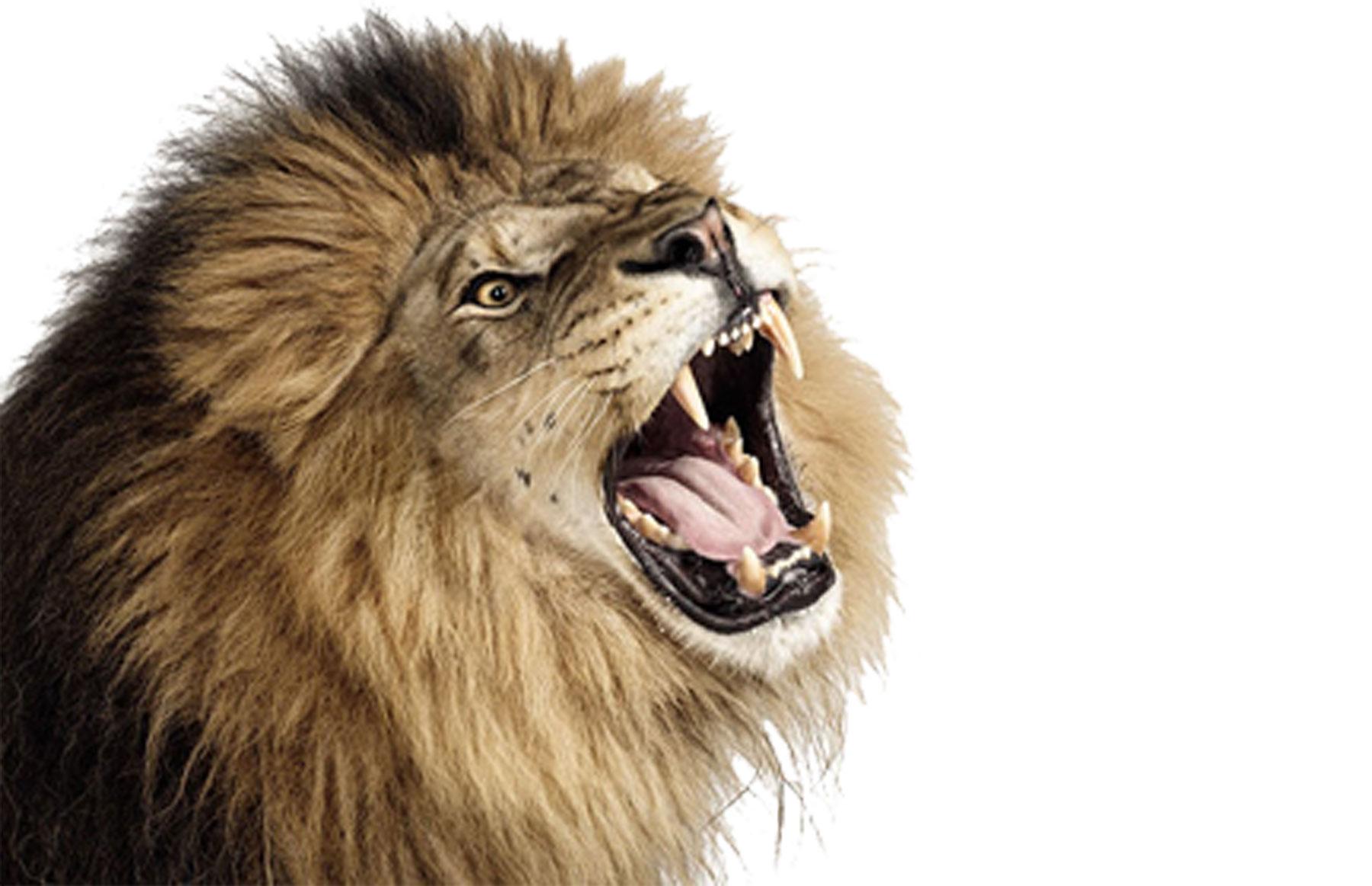 South Africa safari tourist pats lion through car window