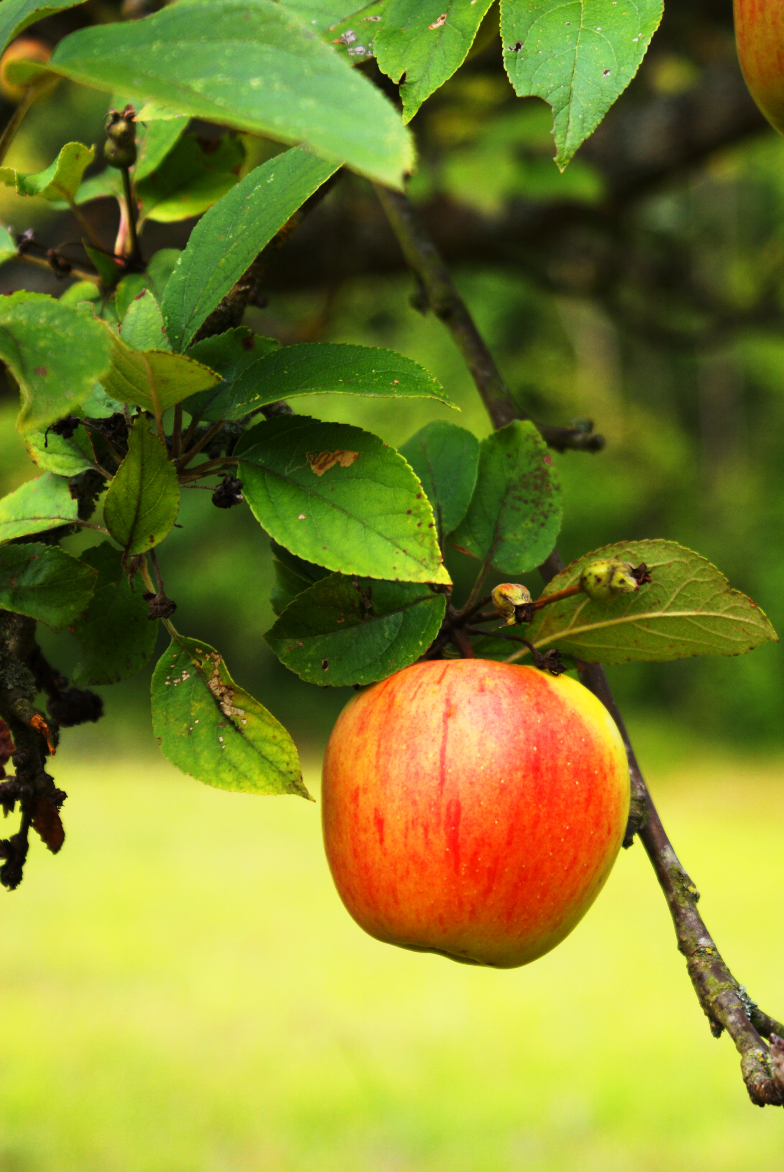 apple trees essay