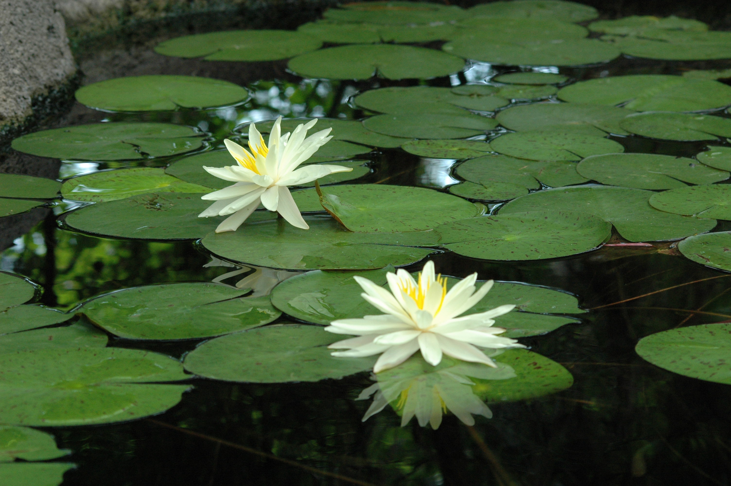 Lily pads Stock Photos and Images. 4,376 Lily pads pictures and Photos of lily pads