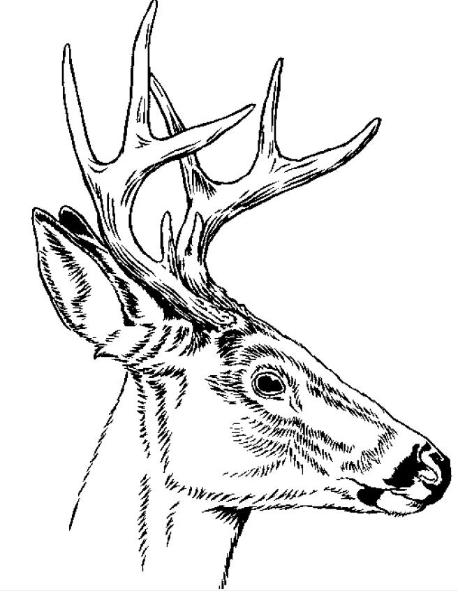 Line Drawing Deer : Deer line art cliparts