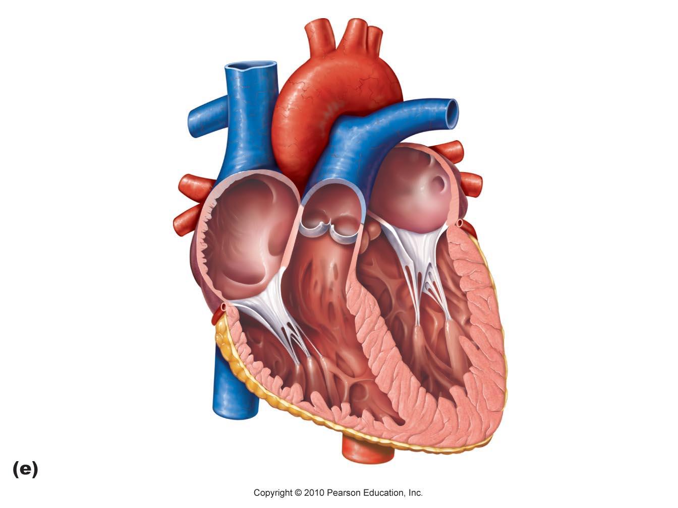 Heart Diagram - Cliparts.co