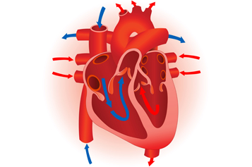 Heart Diagram Unlabeled - Cliparts.co
