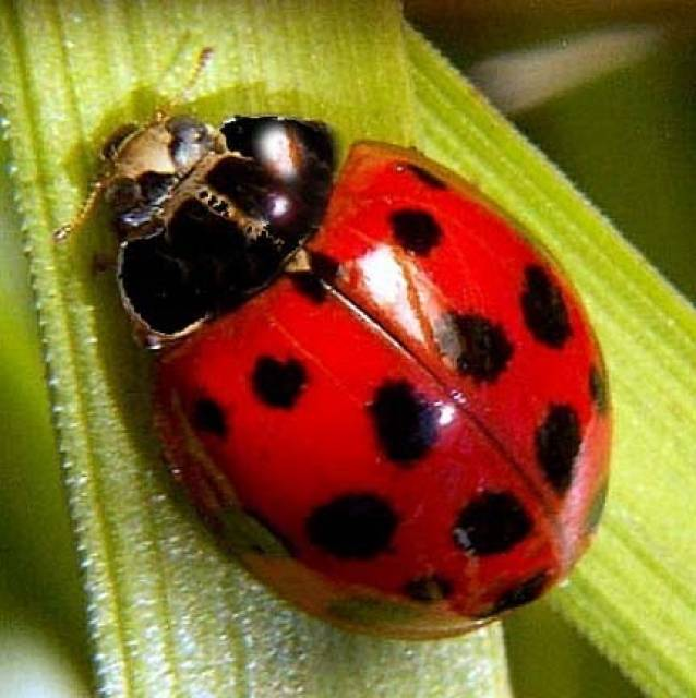 Pictures Of The Largest Ladybug 14