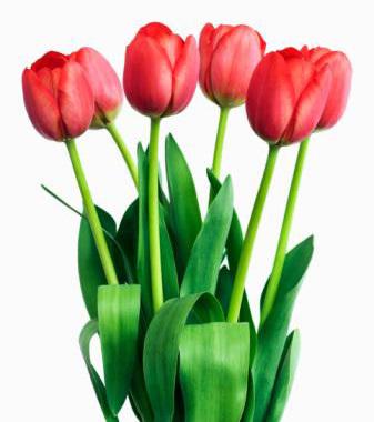 Tulip Pictures 100