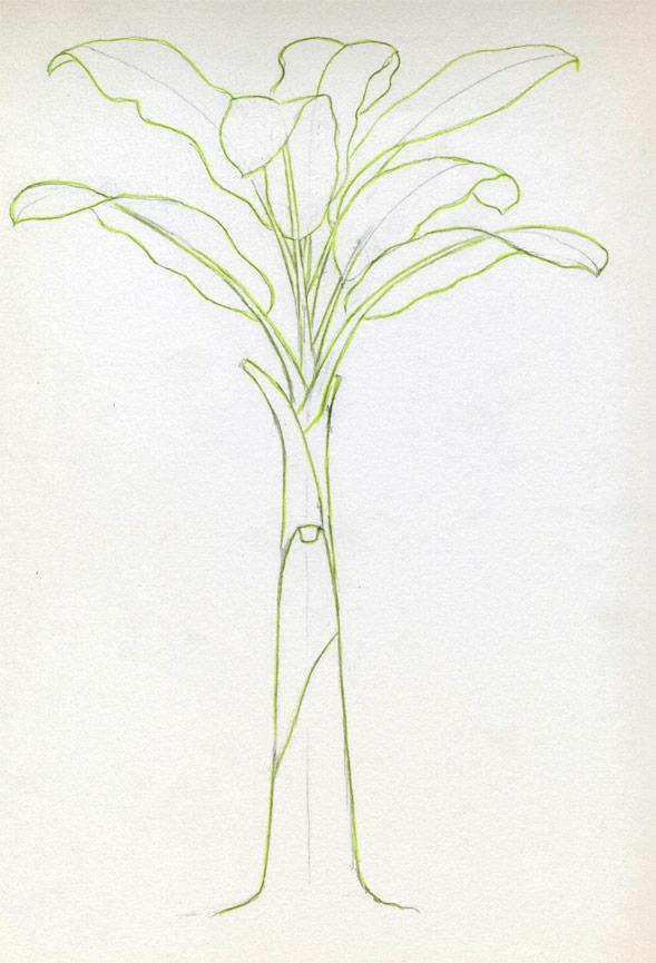 Plantain Tree Drawing