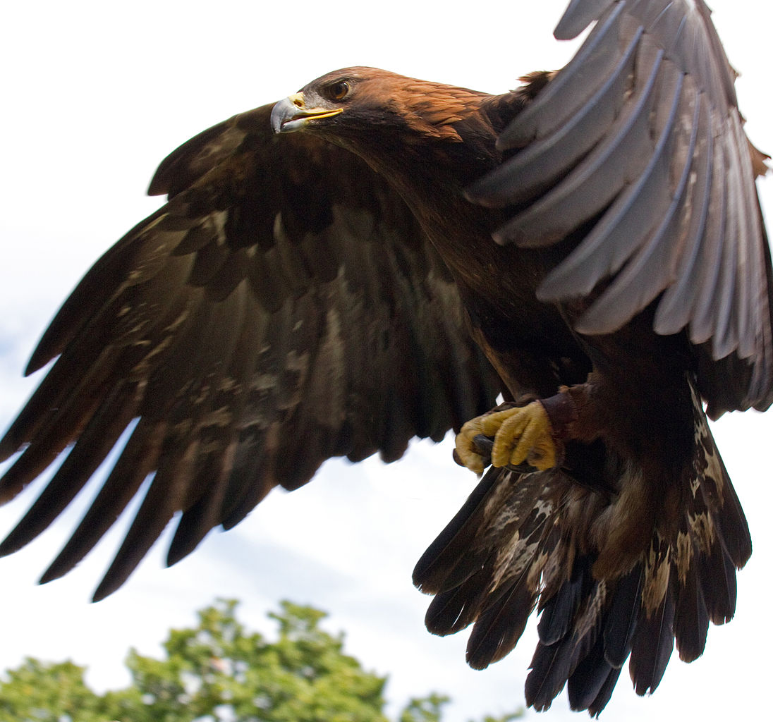 File:Golden Eagle in flight - 5.jpg - Wikimedia Commons