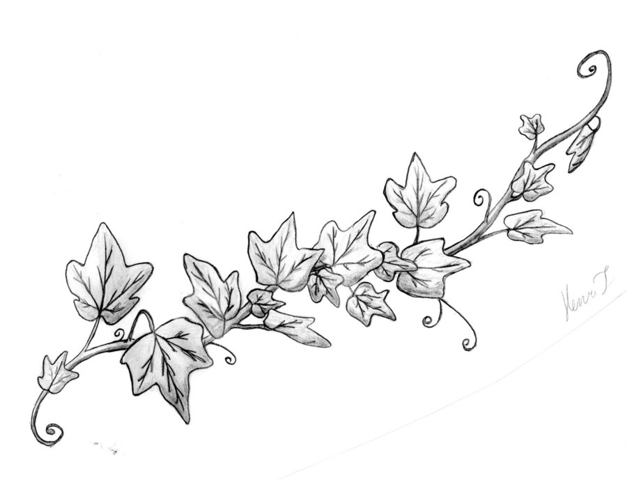 Line Drawing Vines : Rose vine drawings cliparts