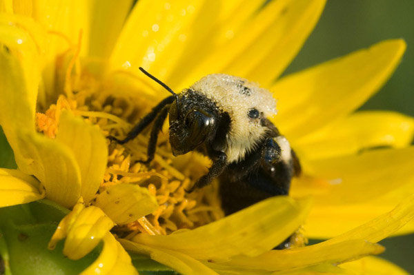 Plight of the Bumble Bee: Conserving Native Pollinators