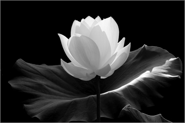 Lotus Flower Pictures / Photos of Lotus Flowers