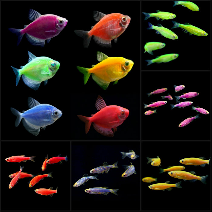 Freshwater fish aquarium fish for sale online for Tropical fish for sale online