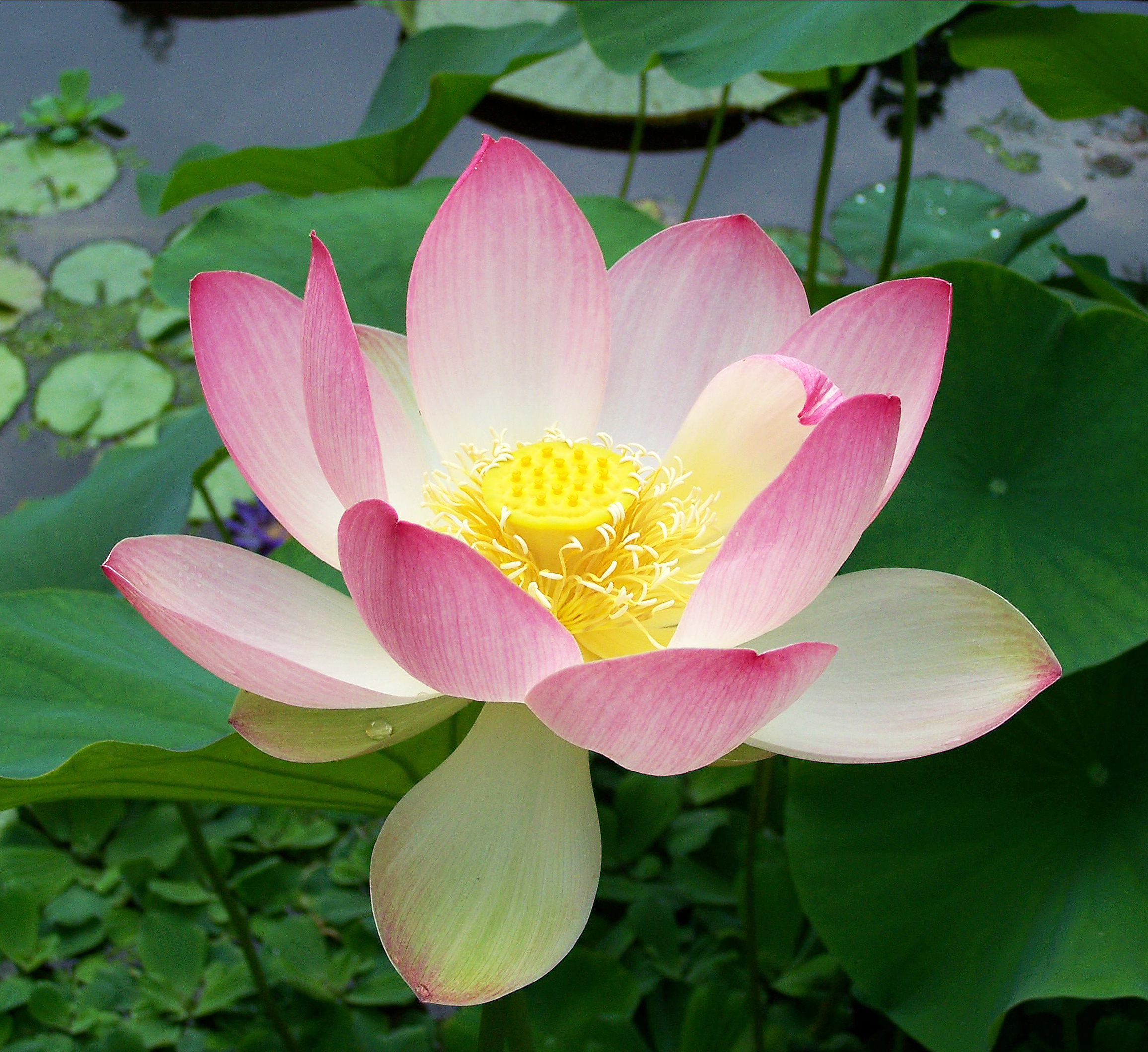 File:Sacred lotus Nelumbo nucifera.jpg - Wikimedia Commons
