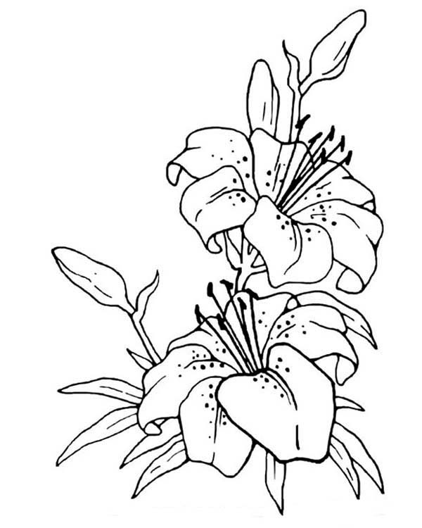 Image Result For Lily Flower Coloring Pages
