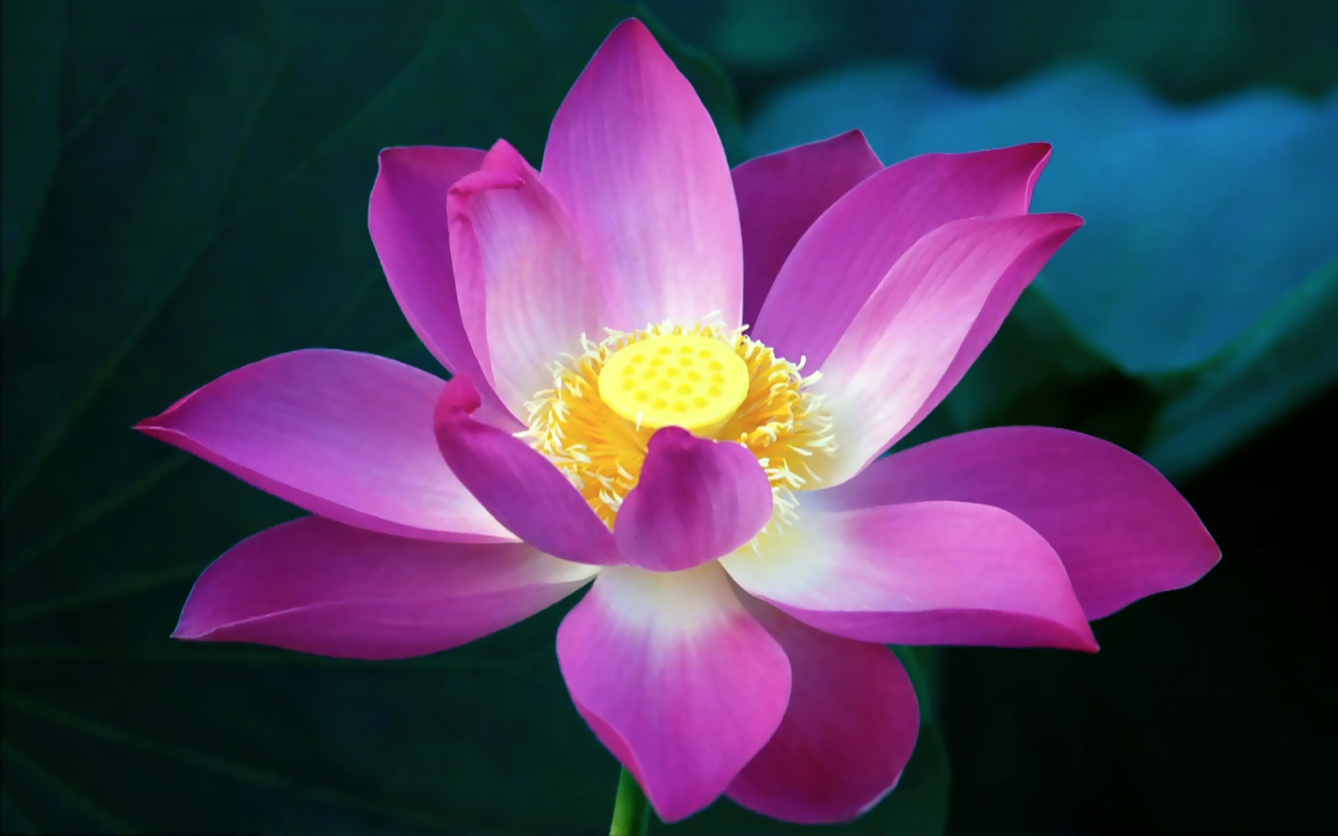 Lotus Flower Desktop Wallpaper | Lotus Flower Pictures | Cool ...